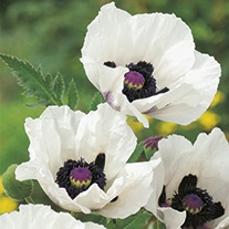 Papaver orientale Royal Wedding Flower Plant