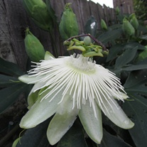 Passiflora Snow Queen Plants