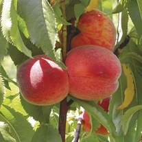 Peach Avalon Pride fruit tree