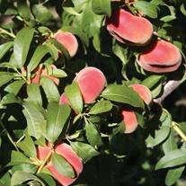 Peach Jalousia fruit tree