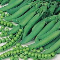 Pea Meteor Plants