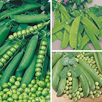 Pea Plant Collection