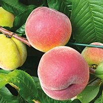 Patio Peach Avalon pride fruit tree