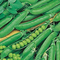 Pea Rondo Plants