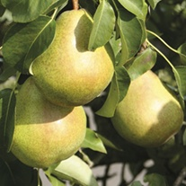 Pear Williams Bon Chretian fruit tree