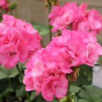 Pelargonium Big Ezee pink plants