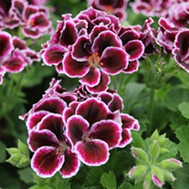 Pelargonium Elegance Flower Plant Collection