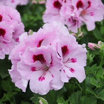 Pelargonium Elegance Lavender Splashed plants