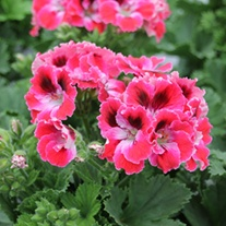 Pelargonium Elegance Red Velvet plants