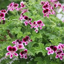 Pelargonium Mosquitaway Eva plants