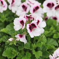 Pelargonium Mosquitaway Lizzy plants