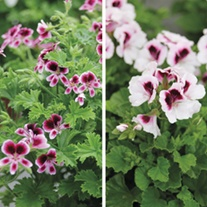 Pelargonium Mosquitaway collection
