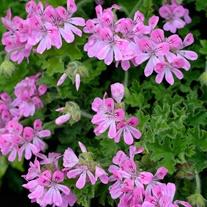 Pelargonium Scented Pink Capitatum Flower Plants