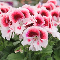 Pelargonium (Regal) Elegance Tony Flower Plants