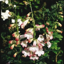 Penstemon Appleblossom Flower Plants