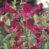 Penstemon Raven Flower Plants