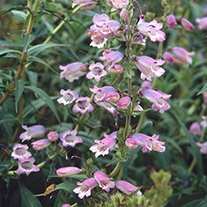 Penstemon Sour Grapes Plants