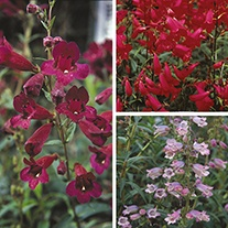 Penstemon Plant Collection