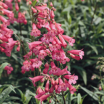Penstemon Hewell's Pink Flower Plants