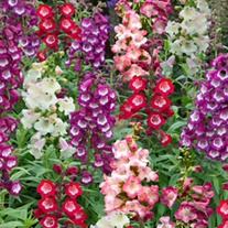 Penstemon Arabesque Mixed F1 Flower Plants