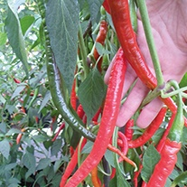 Pepper (Chilli) Joe's Long Cayenne