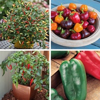 Pepper and Chilli Collection veg plants