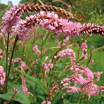Persicaria Pink Elephant Plants