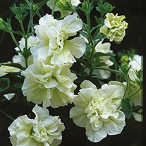 Petunia Tumbelina Scented Falls Melissa Flower Plants