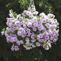 Petunia Tumbelina Scented Falls Joanna Flower Plants