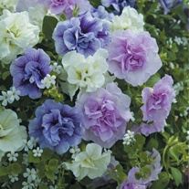 Petunia Tumbelina Series Scented Falls Plants & Hanging Baskets