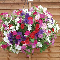 Petunia Easy Wave Mixed F1