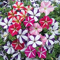 Petunia Designer Series Star Falls Plants