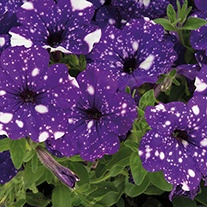 Petunia Night Sky Flower Plants