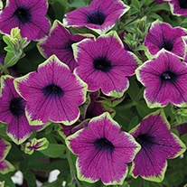 Petunia Designer Buzz Purple Plants