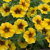 Petchoa Beautical Caramel Yellow Flower Plants