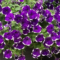 Petunia Sky Flower Plant Collection