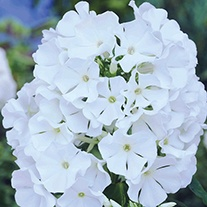Phlox Mount Fuji Plants