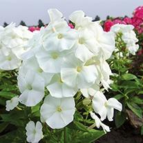 Phlox Adessa White Plants