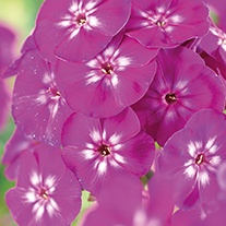Phlox Purple Star Plants
