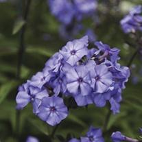 Phlox paniculata Blue Paradise Plants