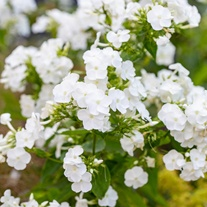 Phlox paniculata David Flower Plants