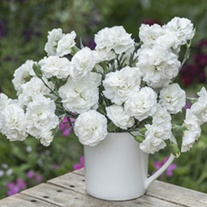 Dianthus Bridal Star Flower Plants