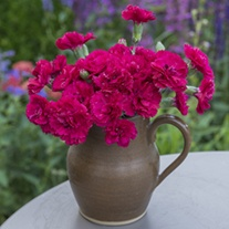 Dianthus Red Carpet Flower Plants