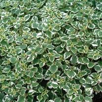 Plectranthus coleoides Plants