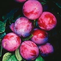 Plum Opal fruit tree