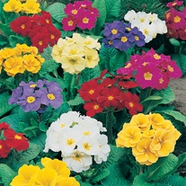 Polyanthus Crescendo Mixed F1 Plants