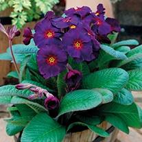Polyanthus Stella Neon Violet F1 Plants