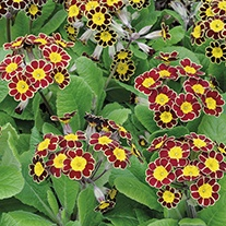 Polyanthus Victoriana Gold Lace F1 Plants