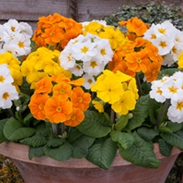 Polyanthus Crescendo Spring Fever Mixed F1 Plants