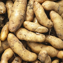 Potato (Maincrop) Ratte